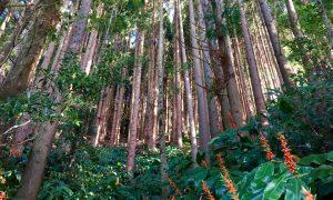Wald auf den Azoren