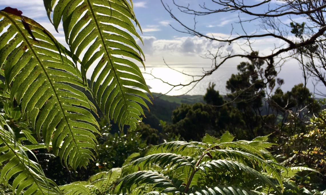 Baumfarn auf den Azoren