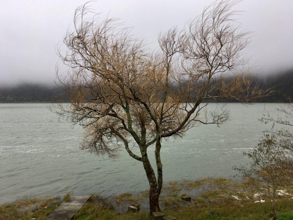 Baum am Lagoa das Furnas